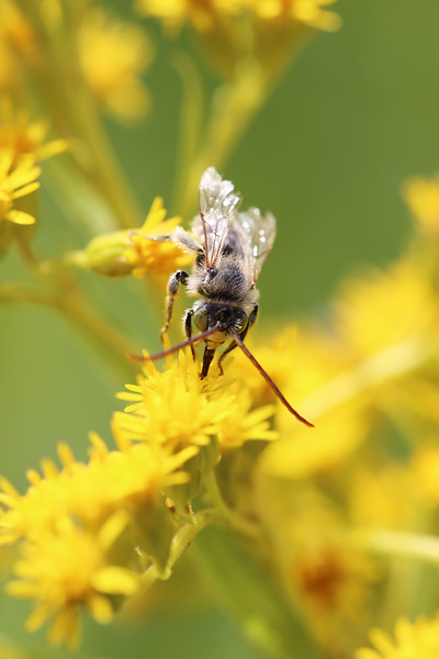 Long-horned Bee (Eucerini)