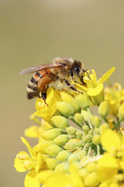 Hone Bee (Apis mellifera)