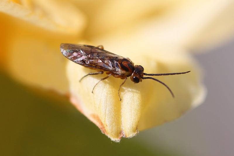 Azalea Sawfly (Nematini)