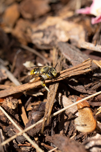 European Woolcarder Bee (Anthidium manicatum)