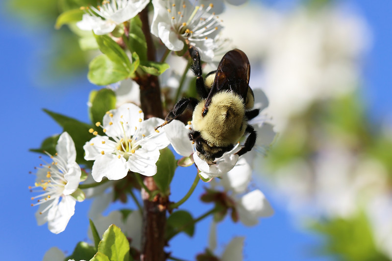 Unidentified Bumble Bee Queen (Bombus)