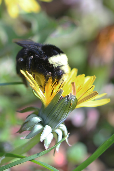 Yellow Faced Bumble Bee (Bombus vosnesenskii)