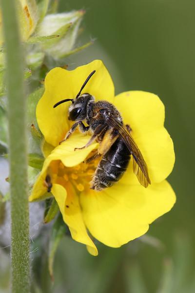 Miner Bee (Andrenidae)