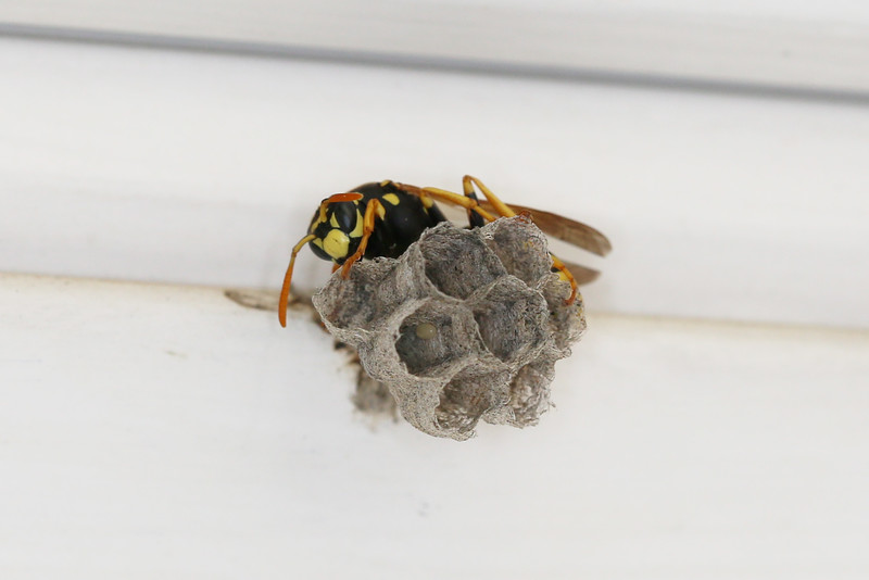 European Paper Wasp Queen (Polistes dominula)