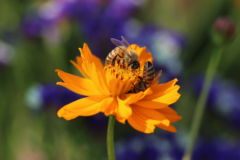 Honey Bees (Apis mellifera)