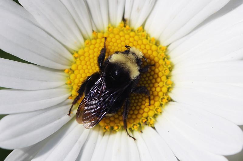 Yellow Faced Bumble Bee ( Bombus vosnesenskii)