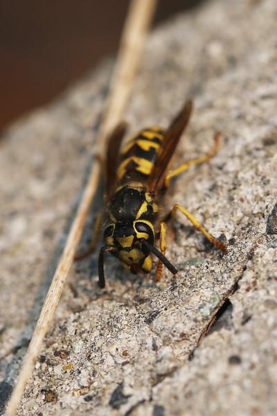Yellow Jacket (Vespidae)