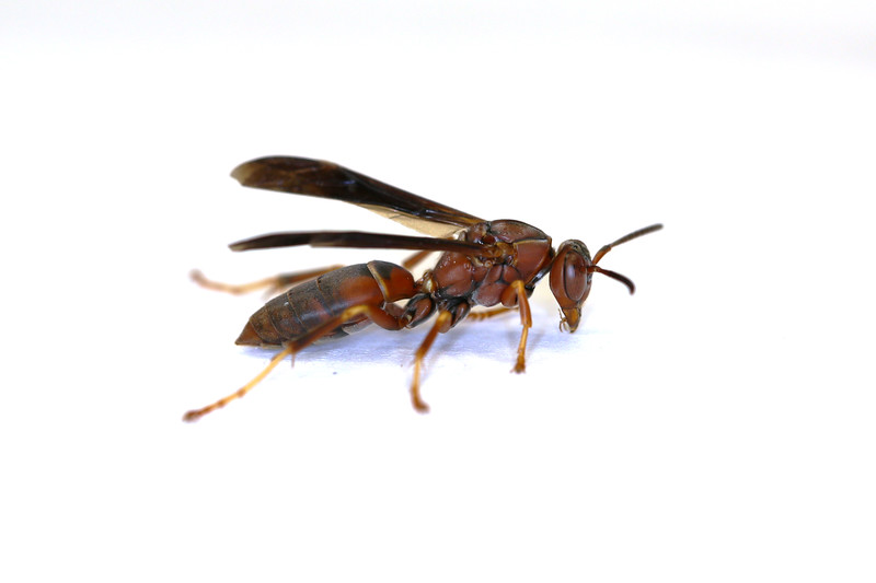 Paper Wasp Fall Gyne (Polistes metricus)