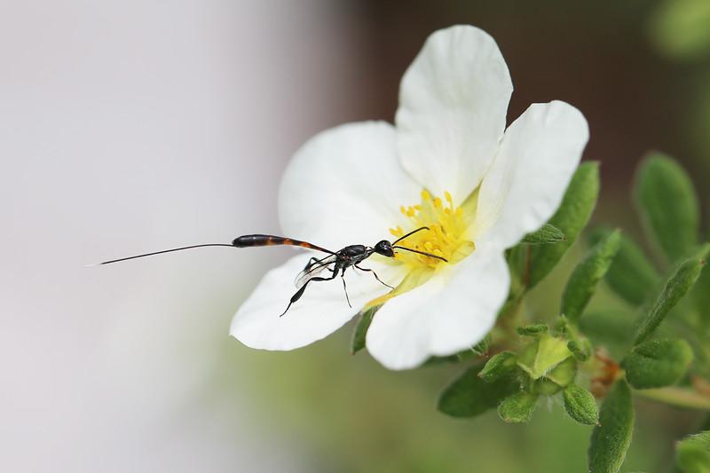 Parastic Wasp (Ichneumonoidea)