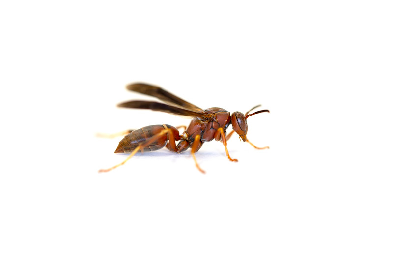 Paper Wasp (Polistes metricus)