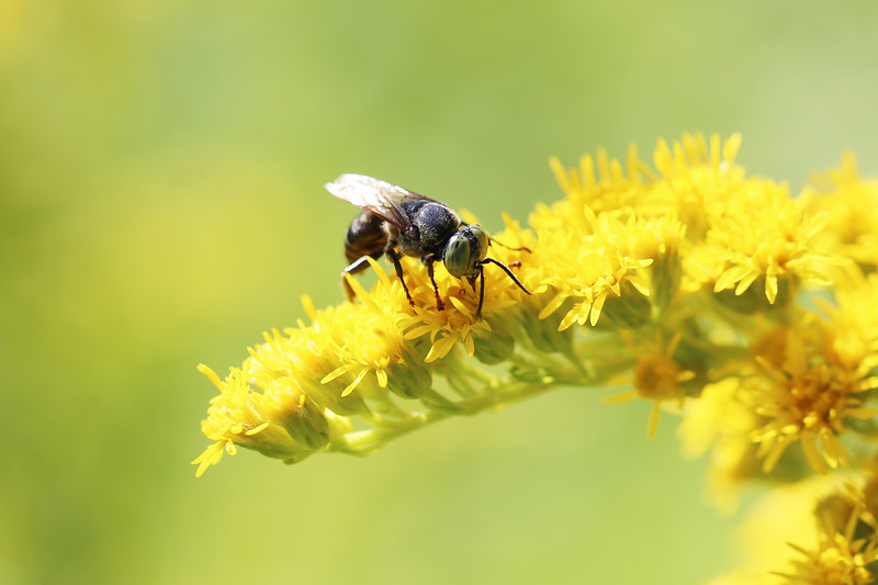 Male Sphecoid Wasp