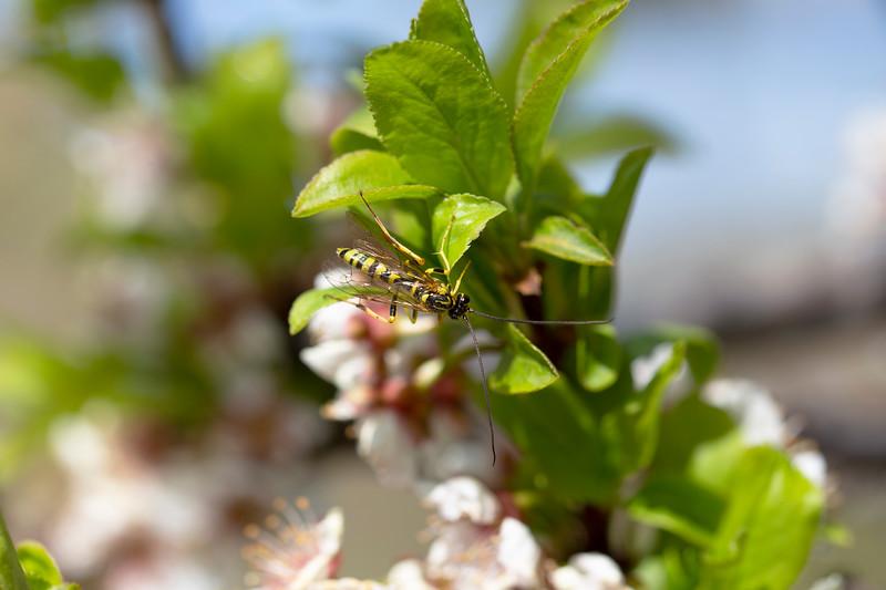 Ichneumonid Wasp (Genus Banchus)