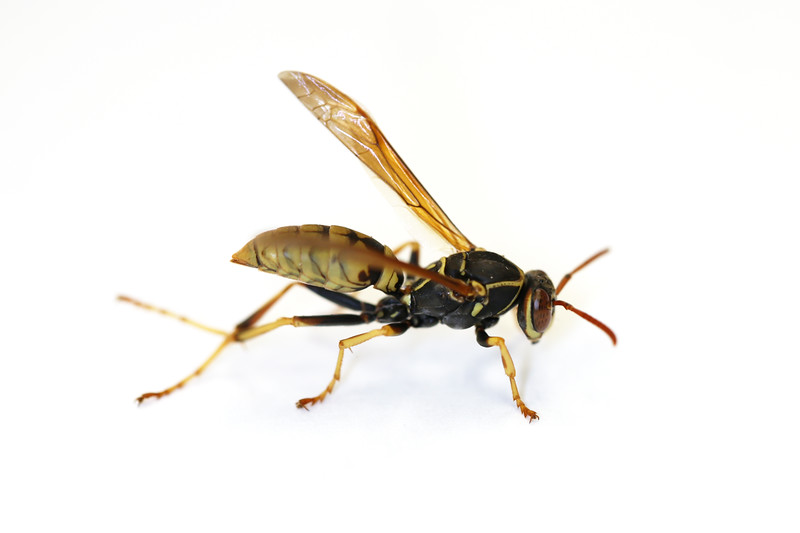 Paper Wasp Female (Polistes aurifer)