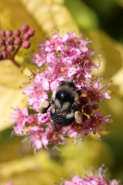 Bumble Bees (Bombus)