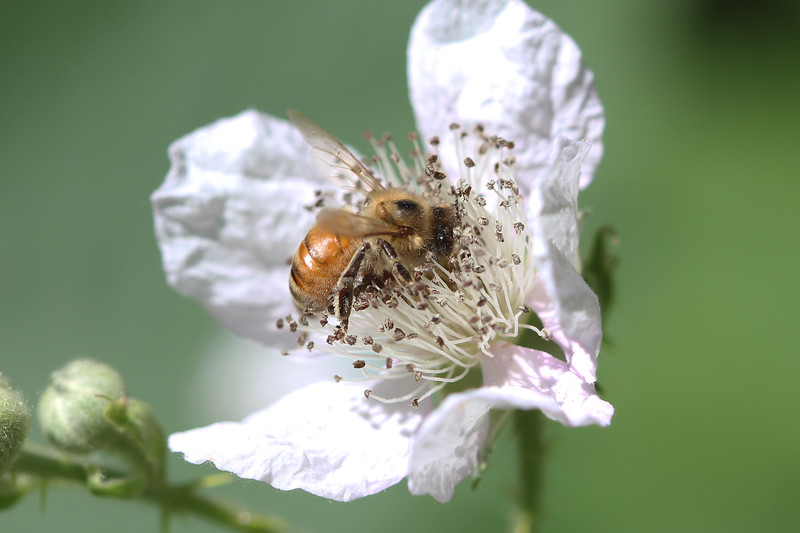 Honey Bee (Apis mellifera)