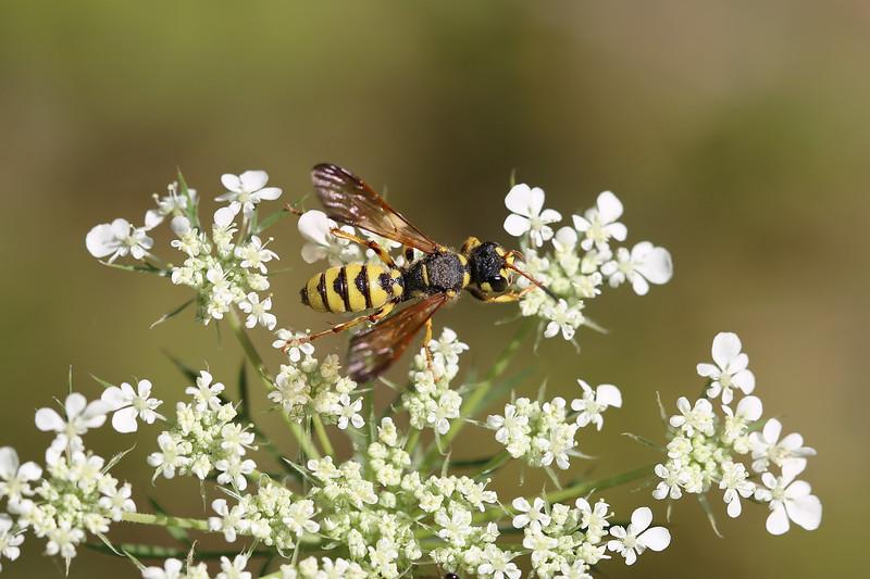 Crabronid Wasp (Cerceris sextoides)