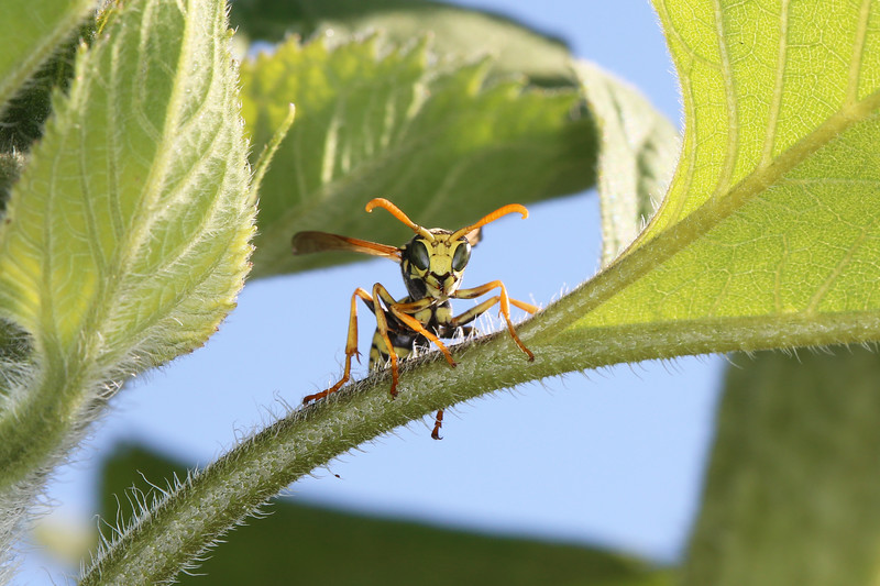 Male European Paper Wasp (Polistes dominula)