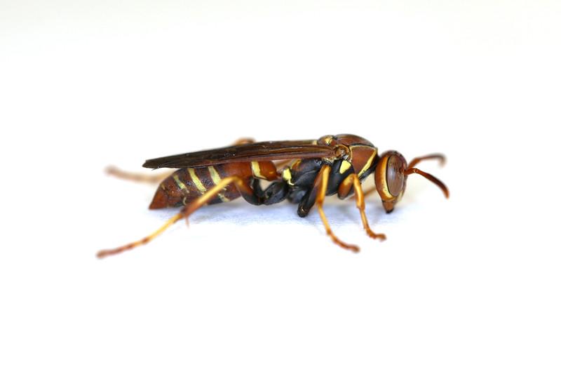 Paper Wasp Fall Gyne (Polistes dorsalis)