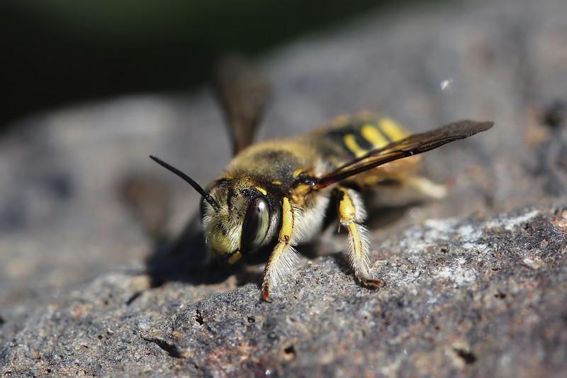 European Wool Carder Bee (Anthidium manicatum)