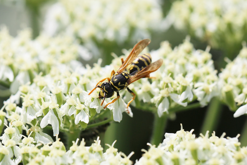 European Paper Wasp Spring Queen (Polistes eominula)