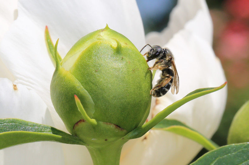 Sweat Bee Feeding on Peony (Halictidae)