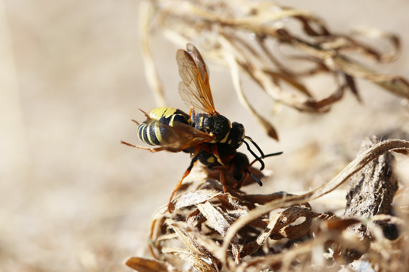 Potter Wasps Mating (Eumeninae)