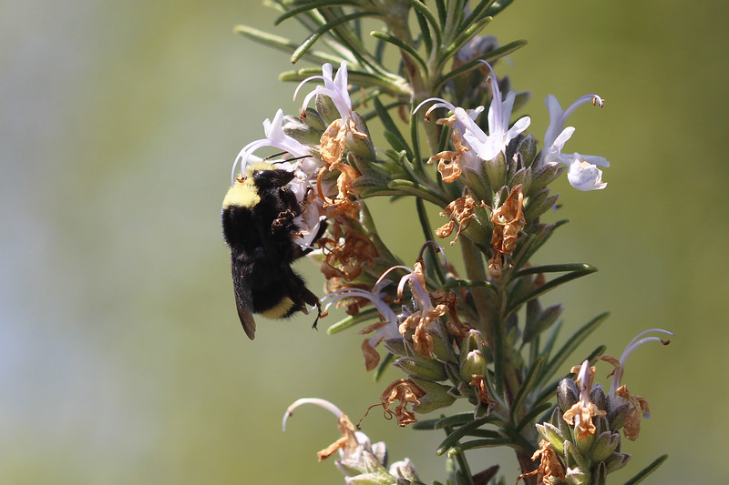 Yellow-Faced Bumble Bee (Bombus vosnesenskii)