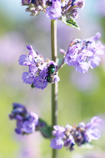 Metallic Green Leaf-cutter Bee (Megachilidae)