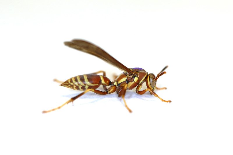 Paper Wasp Fall Gyne (Polistes exclamans)