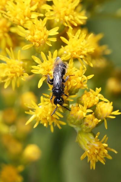 Tiphiid Wasp (Tiphiidae)