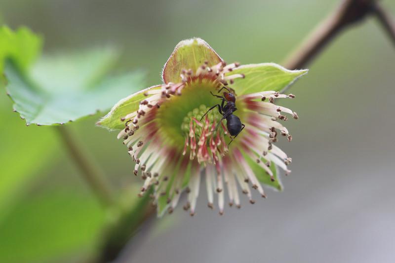 Thatcher Ants (Formica)
