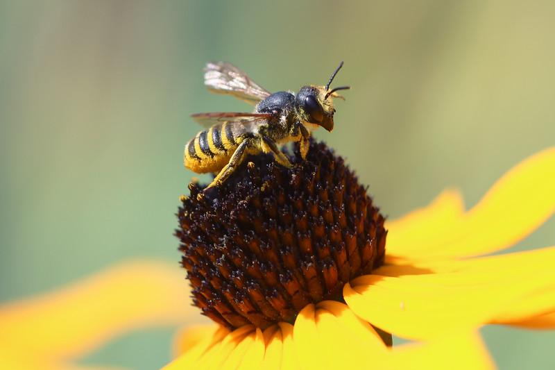 Horned-Faced Leaf-Cutter Bee (Megachile fidelis)