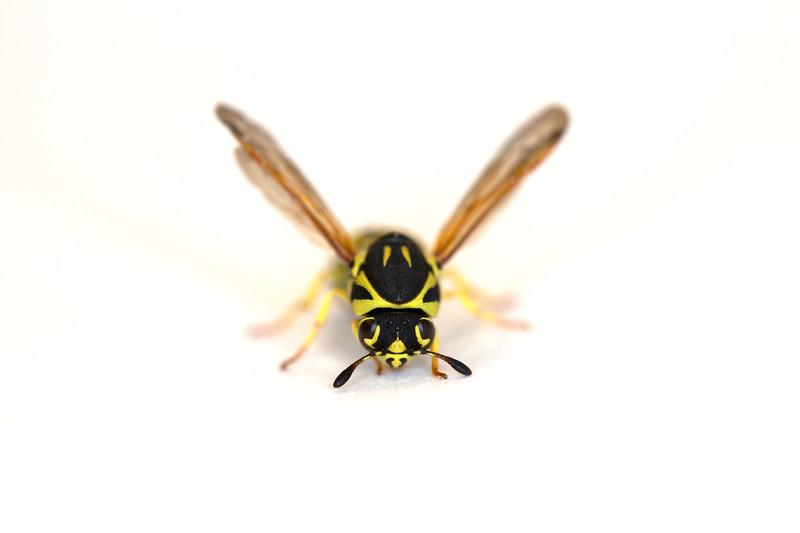 Pollen Wasp (Masarinae)