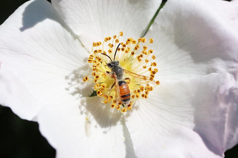 Mining Bee (Andrenidae)