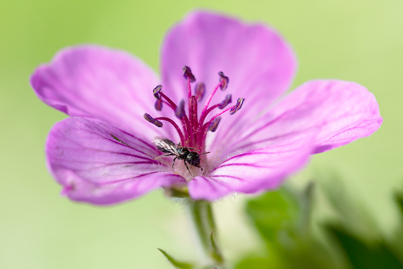 Small Carpenter Bee (Ceratina)