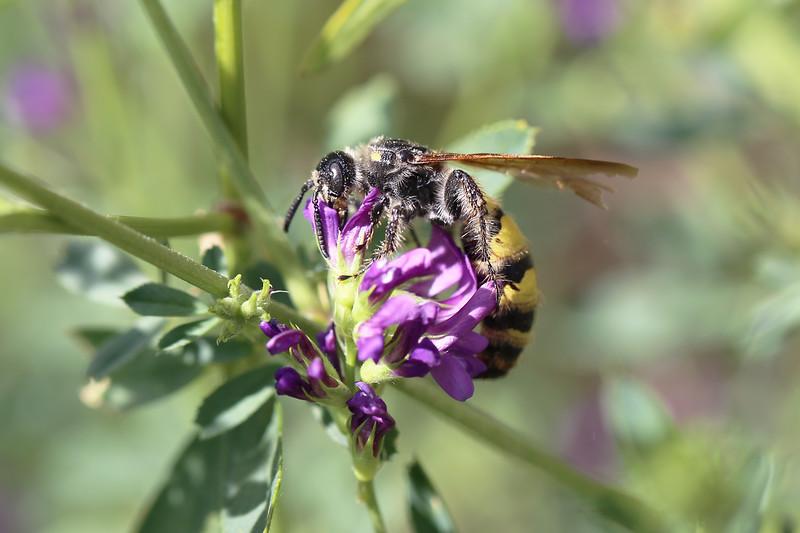 Flower Wasps (Scoliidae)