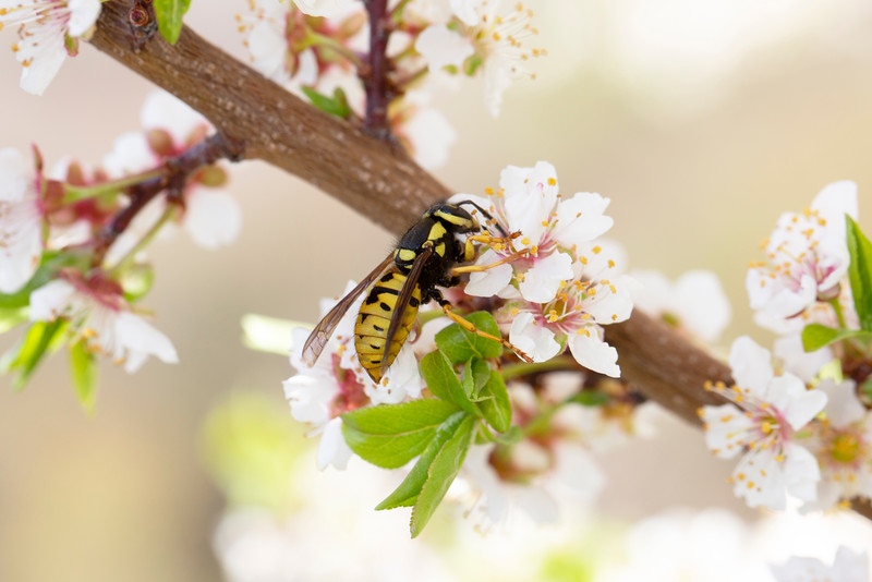 Yellow Jacket Spring Queen (Vespidae)