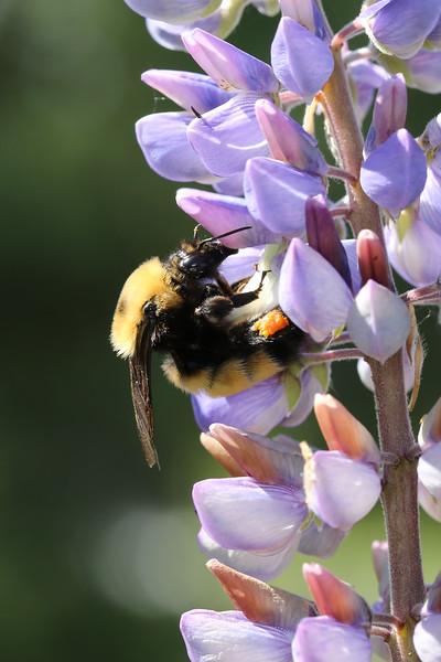 Nevada Bumble Bee (Bombus nevadensis)