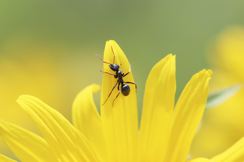 Worker Ant (Formicidae)