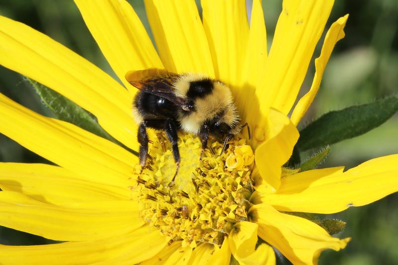 Bubmle Bee (Bombus)