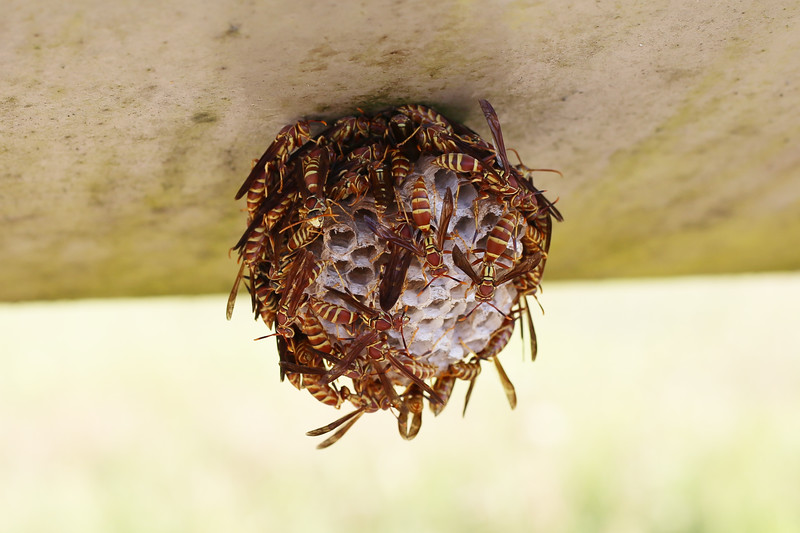 Paper Wasp Nest (Polistes exclamans)