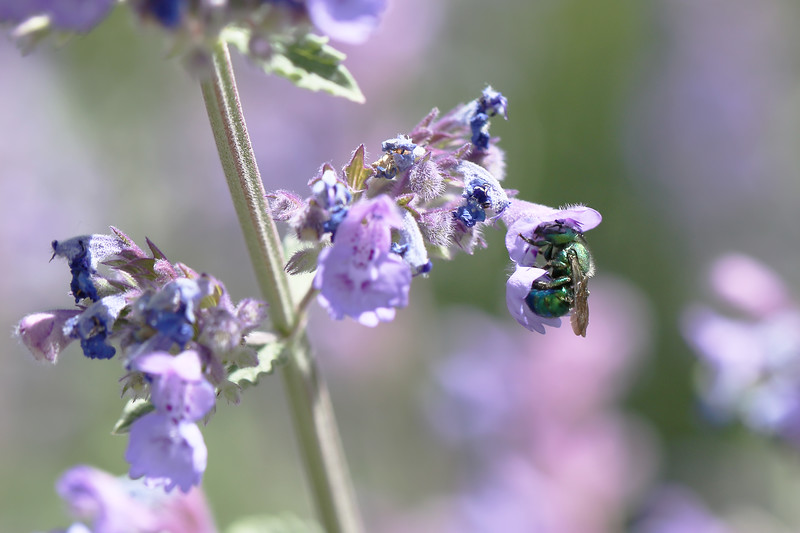 Metallic Green Mason Bee (Osmia)
