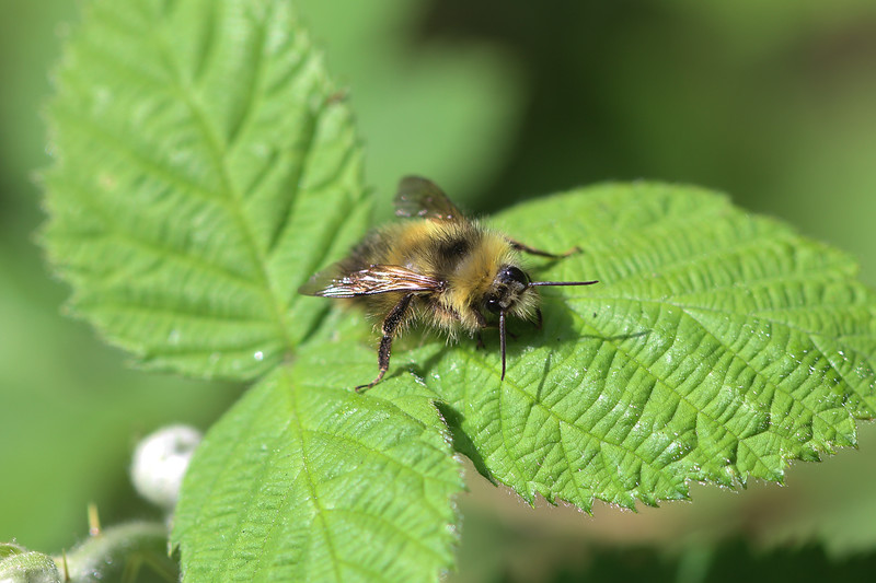 Bumble Bee (Hymenoptera)