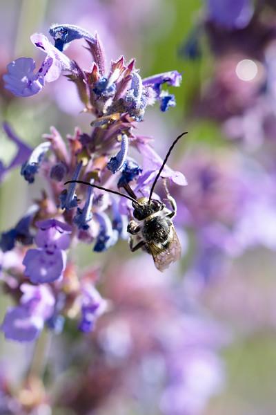 Longhorn Bee (Eucerini)