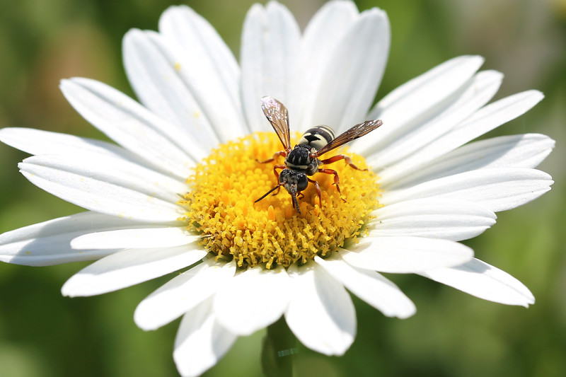 Cellophane-cuckoo Bee (Epeolus)