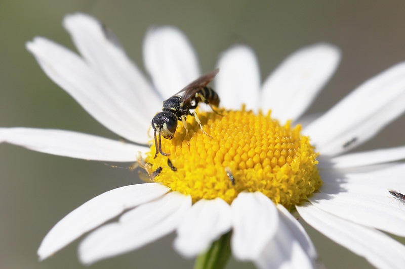 Square-headed Wasp (Crabronidae)
