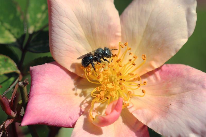 Blue Orchard Bee (Osmia lignaria)