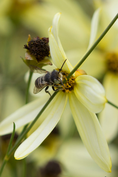 Leafcutter Bee (Megachilidae)