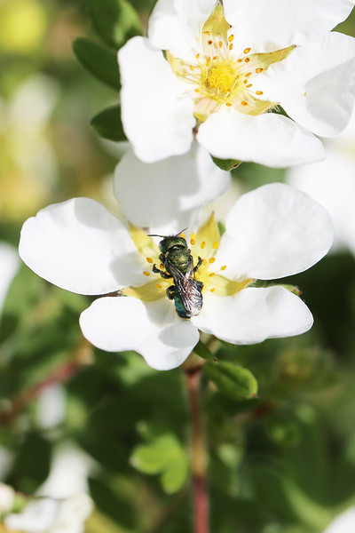 Mason Bee (Osmia)