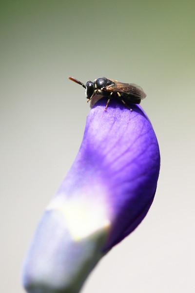 Masked Bee (Hylaeus)